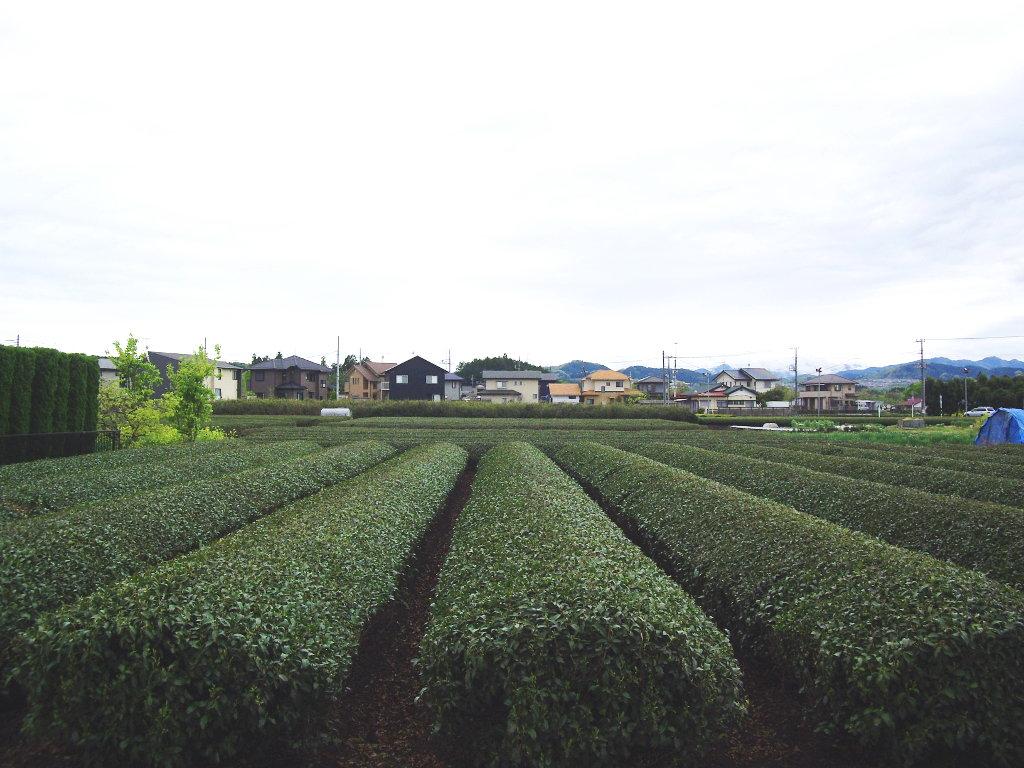 埼玉・高麗の巾着田2013春-1127
