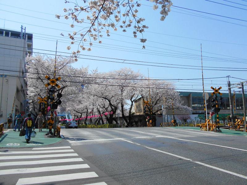 西武新宿線・中野通りの桜2015-4003