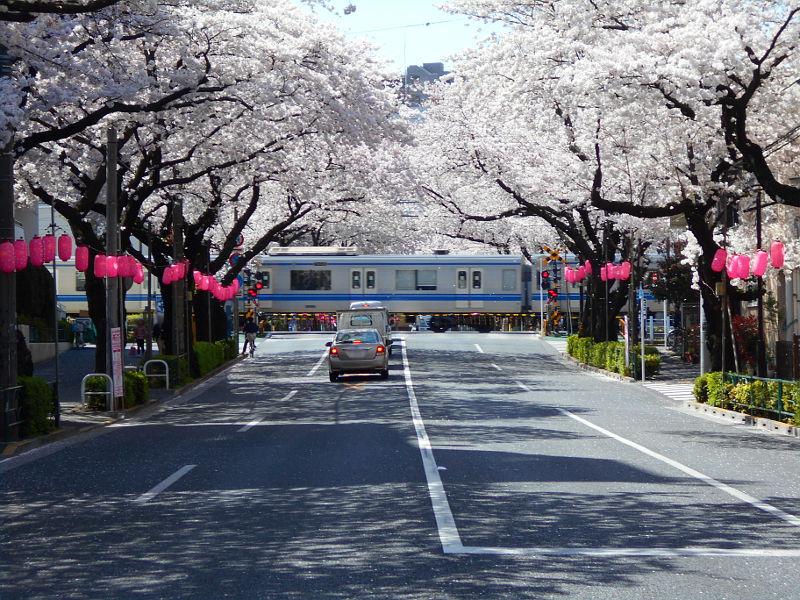 西武新宿線・中野通りの桜2015-4005