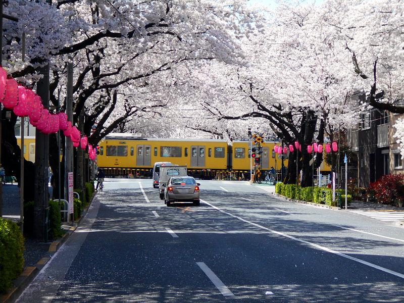 西武新宿線・中野通りの桜2015-4006