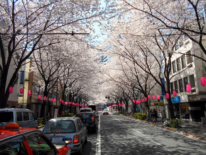 西武新宿線・中野通りの桜2015-4009
