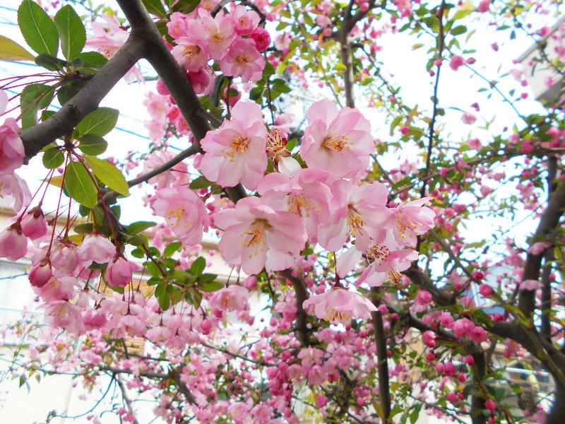 西武新宿線・中野通りの桜2017-9102